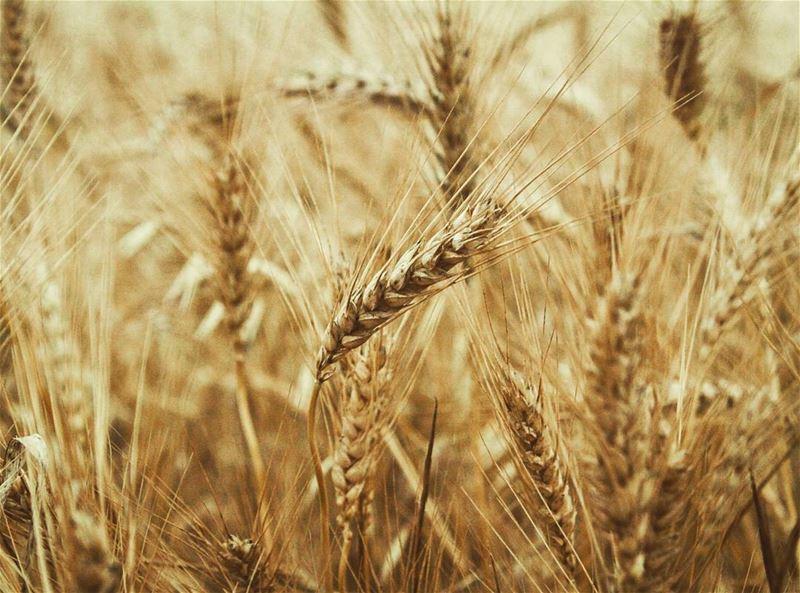 ومدهبة الكروم سنابل .. قمح 🌾🎵 قمح... wheat gold field akkar ...