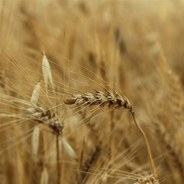 🌾... wheat gold field akkar lebanon beino beinovillage ...