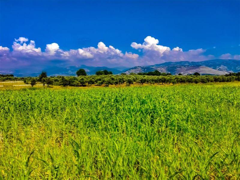 Corn anyone?.... lebanonshots lebanonnature lebanon lebanon🇱🇧 ... (Bechmezzîne, Liban-Nord, Lebanon)