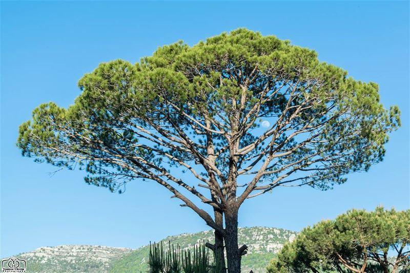 غفوة قمر بين أحضان الصنوبر 🌳 nature naturelebanon lebanoninstagram ...