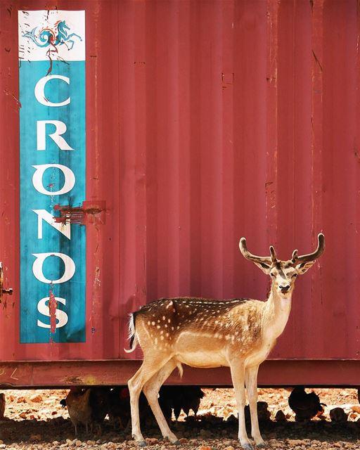Angry•Deer deer bekaa reserve westbekaa wild life animal outdoor ... (Aâna, Béqaa, Lebanon)
