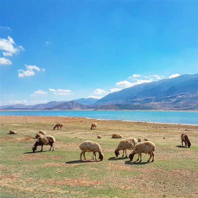 Out of Office 🐑💛💙 lake sheep animals mountains bekaa nature ... (Qaraaoun, Béqaa, Lebanon)