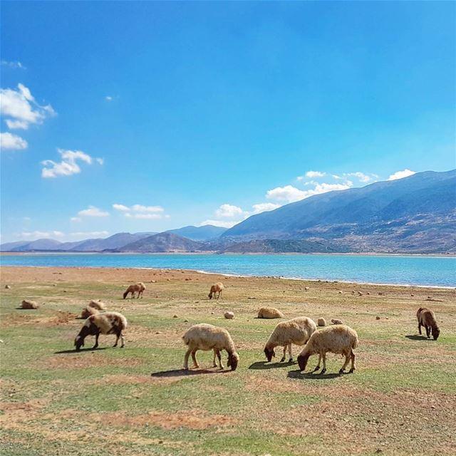 Out of Office 🐑💛💙 lake sheep animals mountains bekaa nature ... (Qaraaoun, Béqaa, Lebanon)