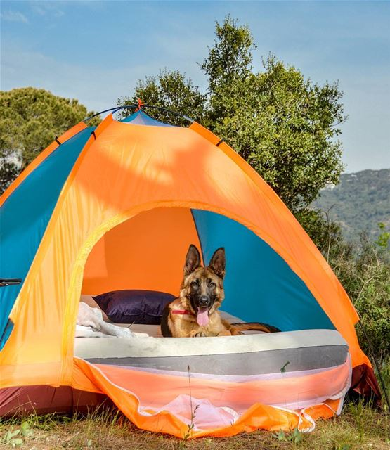 camping with Logan 🐶⛺..... loganthedog logan tents camping camp...