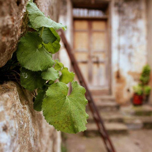 كما ينبت العشب .. بين مفاصل صخر🍀 ضيعة... lebanon beino akkar ... (Beïno, Liban-Nord, Lebanon)