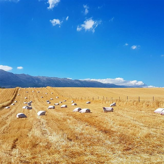 The Generous Valley 🌾💛💙 bekaa wheat agriculture outdoors summer ...