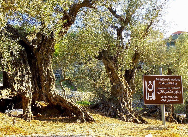 In Bechaa'leh, a village not far from Beit Douma, there are olive trees...