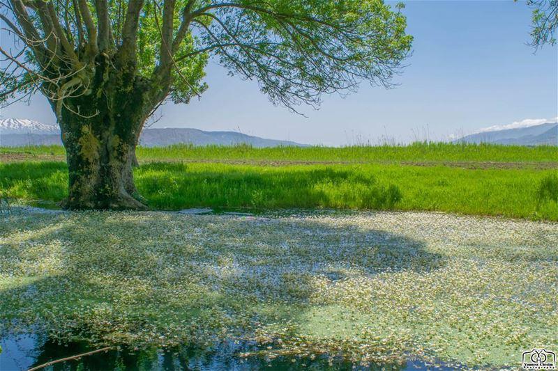 مستنقعات عميق - البقاع - لبنان ammiq ammiqreserve nature swamp ...
