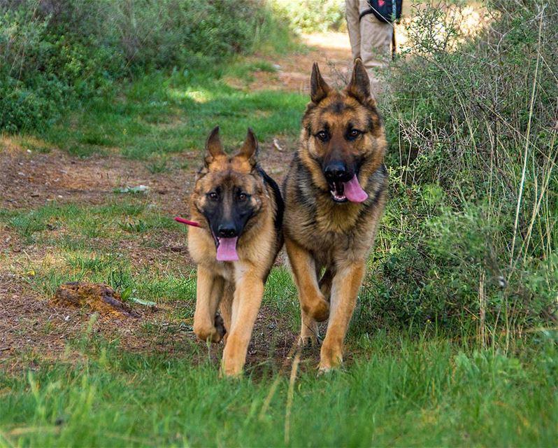 🐶🐶..... logan loganthedog dogs dog happydog germanshepherd puppy...