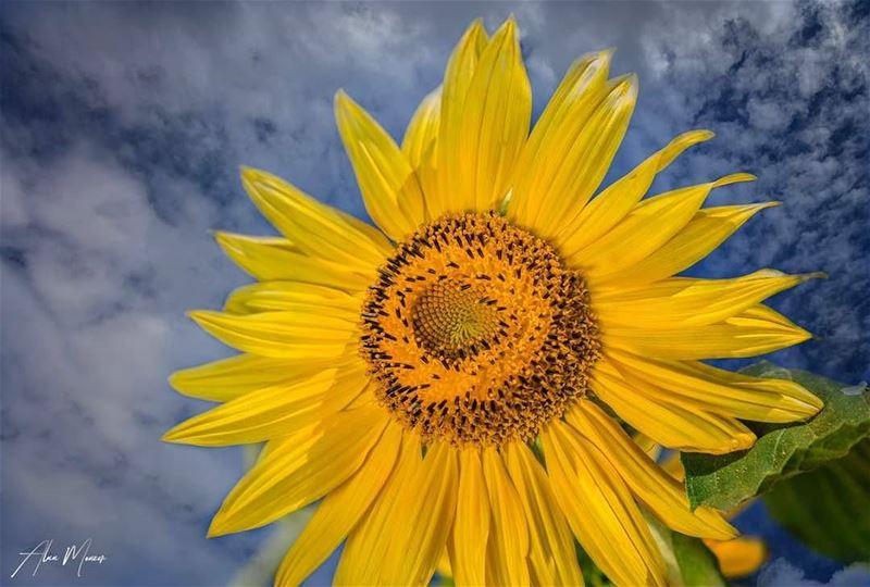 lebanon sunflower clouds bluesky yellowflower life lebanese nature...