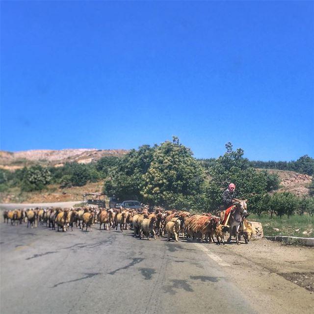Wait till we cross the road - LiveLoveBekaa Shepherd Sheep ... (مجدل ترشيش)