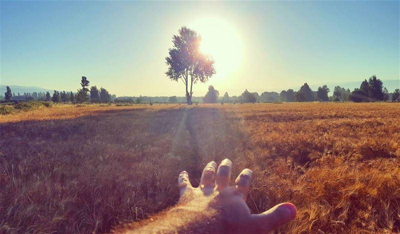 GoodMorning Sunshine 🌾🌞 LiveLoveBekaa LiveLoveLebanon Wheat قمح (Beqaa Governorate)