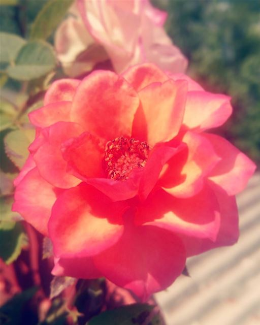 rose flowerstagram mybaby inlove flowerlover mothernature homesweethome...