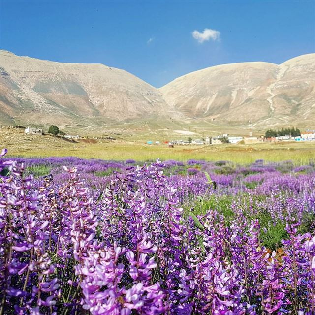 cedars bloom plain mountains purple nature outdoors livelovecedars...