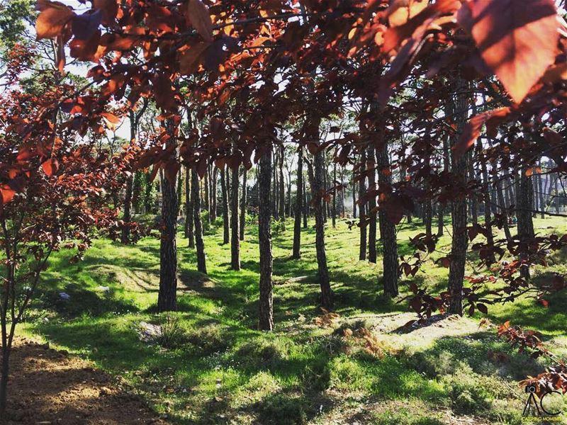 bologna lebanon wood colorfultrees livelovelebanon livelovebeirut ... (Bois De-Boulogne, Mont-Liban, Lebanon)