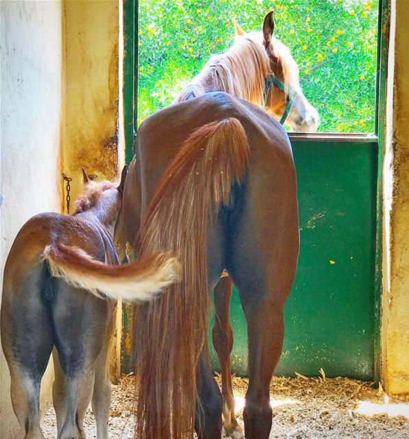 Like mother, like daugher 🐎 ArabianHorse Horse ... (Soûr, Al Janub, Lebanon)