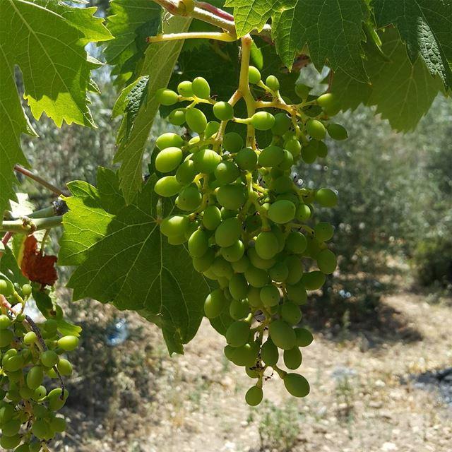 yaroun yarounday grape sunny nature 17برود اليوم_القروي ...