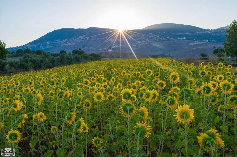 Sunrise VS Sunflower from Houmine Al Fawka sunrisehouminealfawka ...