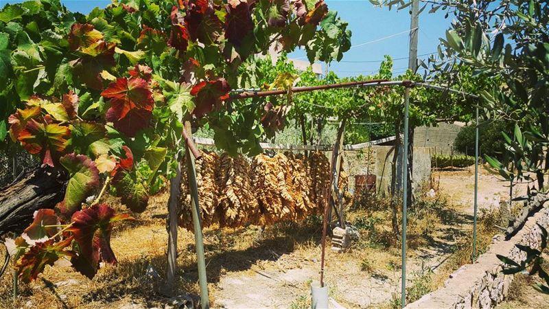 yaroun yarounday tabaco vine nature lebanon southlebanon bestofleb...