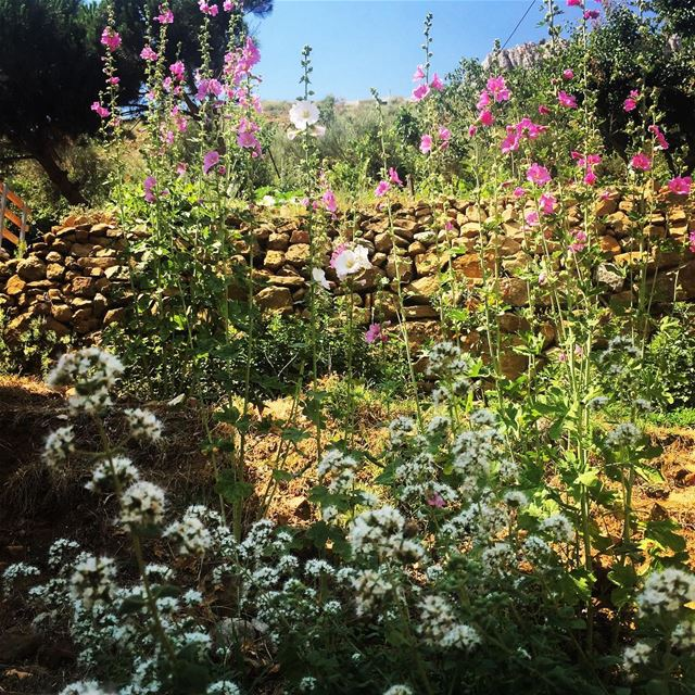 Nature summer green colorful colors flowers plants thyme mountain... (Faraya, Mont-Liban, Lebanon)