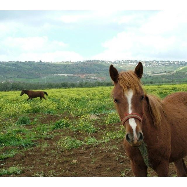 Horses roaming the valleys of @livelovemarjeyoun @livelove.pets by @johnfakhoury (مرجعيون-Marjeyoun)