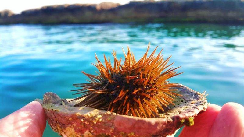 قنفذ_البحر 😍😇 oursin sea_urchin sea ... (Tyre, Lebanon)
