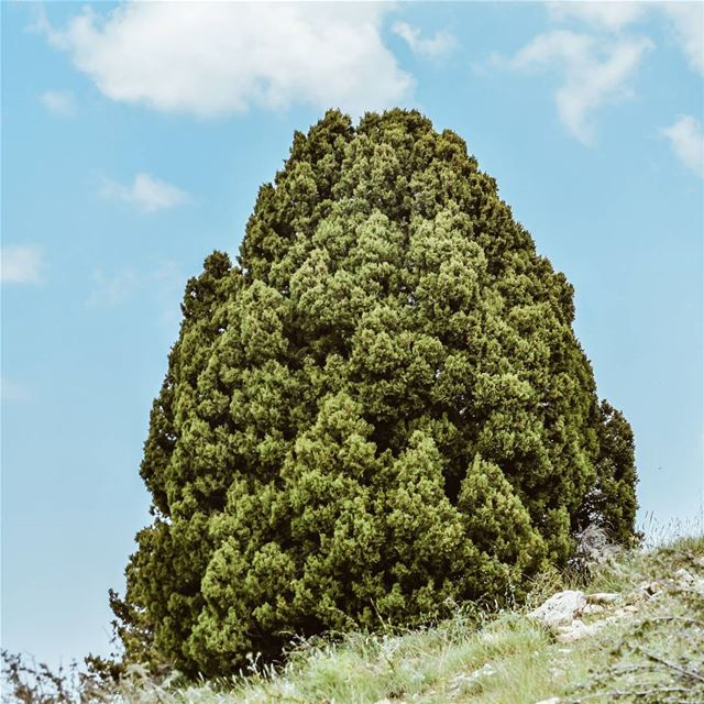 old tree lebanese mountains clouds sky photographer ...