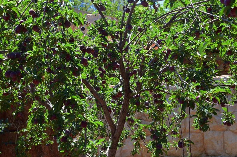 🌳.. plum plumtree village bekaa lebanon deirelahmar photography ...