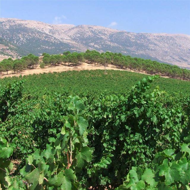 🇱🇧🍇 O mercado de vinhos movimenta a economia do Líbano, país que há... (Château Kefraya)