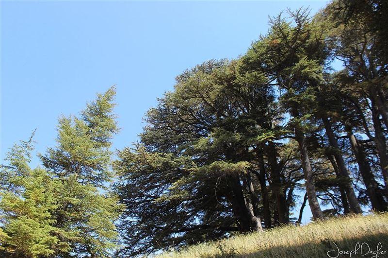 🌲🌲🌲_______________________________________________________... (The Cedars of Lebanon)