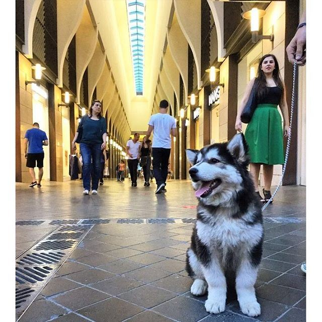 When your dog is happier than you at @beirutsouks @livelove.pets (Beirut Souks)