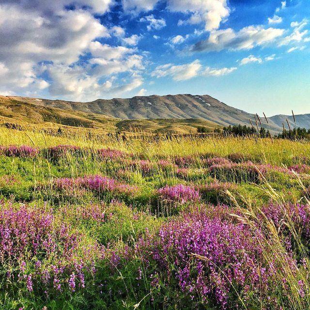 Blooming beauty @livelovecedars by @polsamuel (Cedars Of Lebanon)