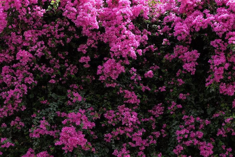Lady in pink .Bougainvillea today .... shall I slang it? or shoot it?... (Saïda, Al Janub, Lebanon)
