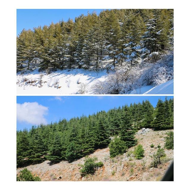 beforeandafter snow nature cedars lastwinter duringsummer now trees chouf... (Al Shouf Cedar Nature Reserve)