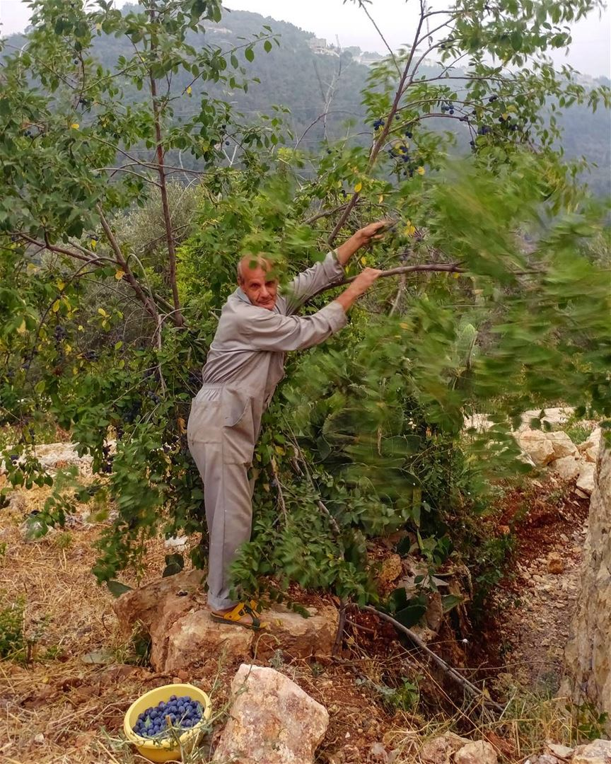 When I saw him picking his fruits (baby plums) I had to record this moment... (Dayr Al Qamar, Mont-Liban, Lebanon)