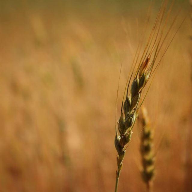 وتمايلي .. 🌾🎵 قمح عكار.... wheat gold field akkar lebanon ... (`Akkar, Liban-Nord, Lebanon)