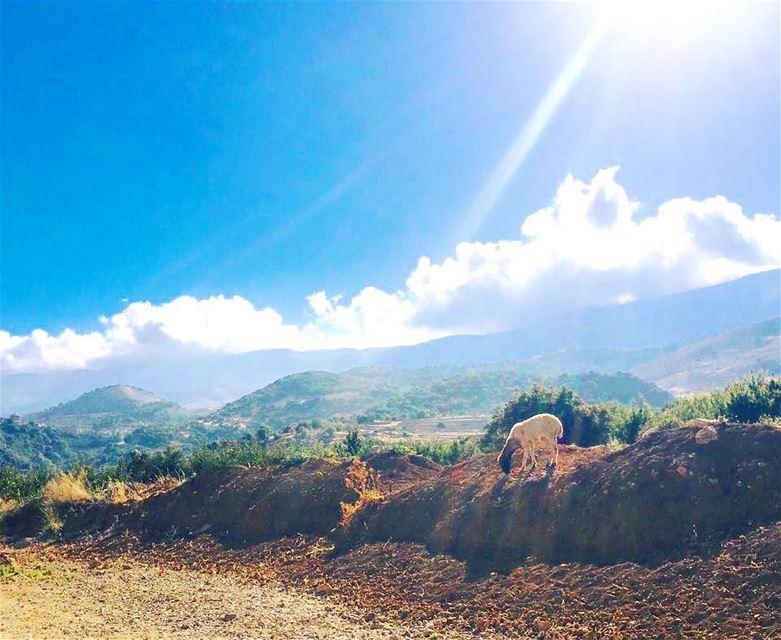 لأنك لا تؤمن بالنهايات ....🌿🌾 sheep lonely happy nature colors ... (West Bekaa)