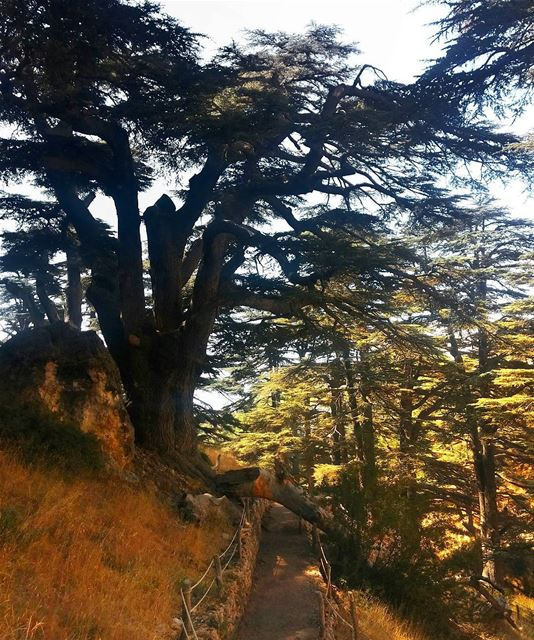 Cedars of God 😍 lebanon nature naturelovers natureporn landscape ... (Cedars of God)