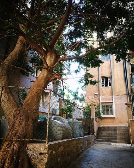my  escape when  work gets  crazy  tree in the  middle of the  city ♥ (Hamra, Beyrouth, Lebanon)