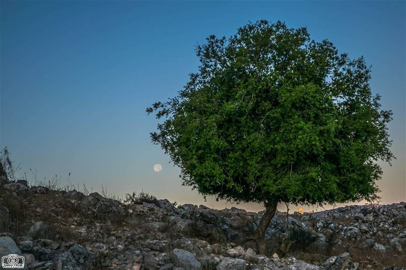 Moon set from Houmine Al Fawka moon moonset tree nature lebanon ... (Hoûmîne El Faouqa, Al Janub, Lebanon)