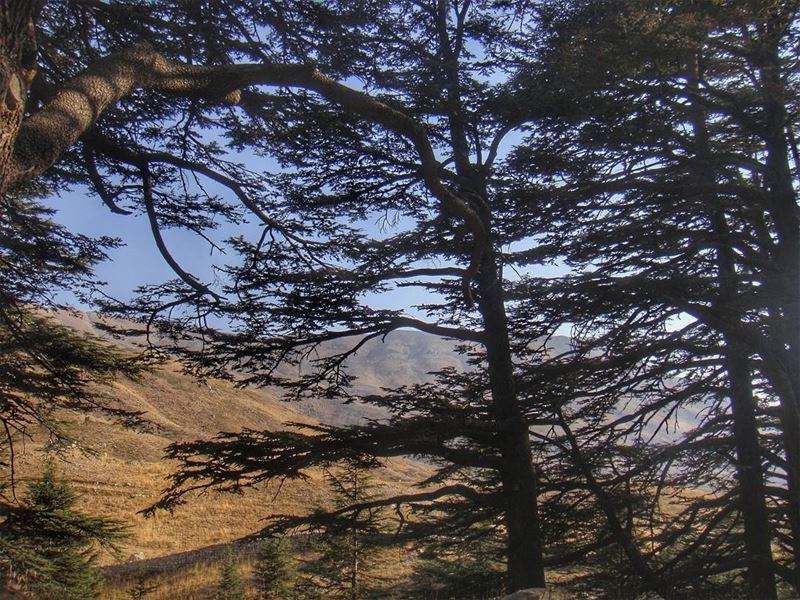 The glory of Lebanon... cedarsofgod  lebanon  ig_lebanon  livelovelebanon...