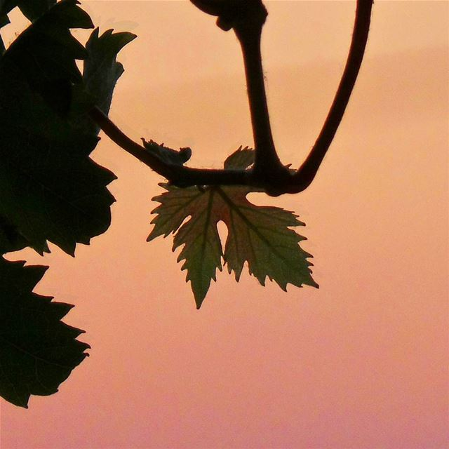 When a leaf reflects sunset's color ☀ nikontop_ nikonworld bns_sky ... (Vdl , Dbayeh)