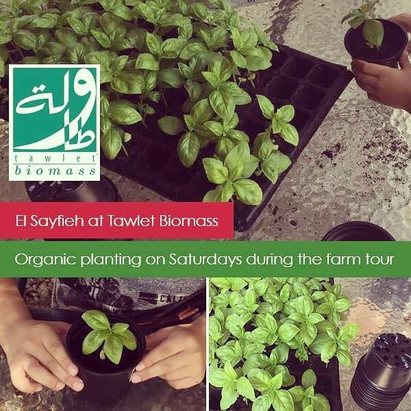 Basil season has arrived at Tawlet Biomass in Jrebta! Come join us every...