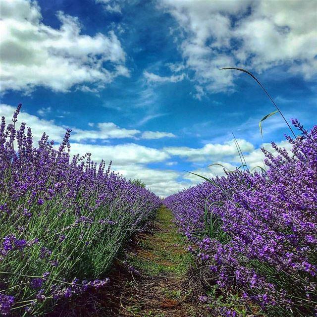 Saturday isnt over yet saturday lebanon lavender deirelharef bikfaya... (Deïr El Harf, Mont-Liban, Lebanon)