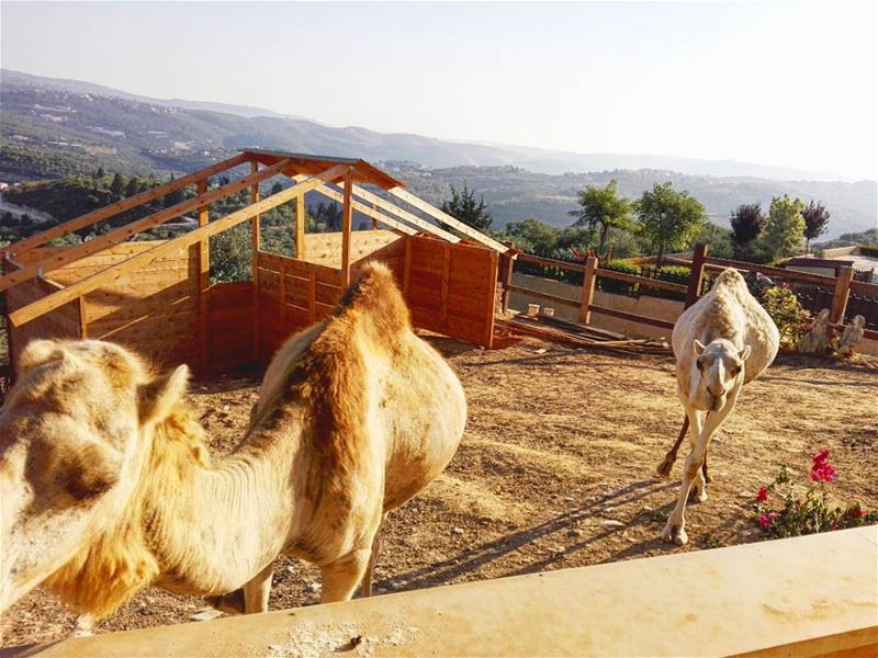 🐫🐪 .... lebanonshots lebanonnature lebanon lebanon🇱🇧 ... (Dar Shmizzin, Liban-Nord, Lebanon)