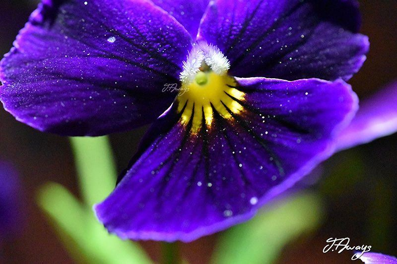 """""""L'âme est comme le pollen: -elle fait souvenir d'elle"""" (Charles de Leusse) (Chemlane, Mont-Liban, Lebanon)"""