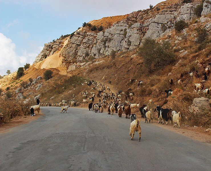 We definitely don't mind this type of traffic 🐐🚗 (Mayruba, Mont-Liban, Lebanon)