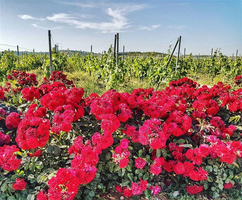 The red at ixsir red roses flowers vinyard ixsir livelovelebanon ... (Ixir Winery)