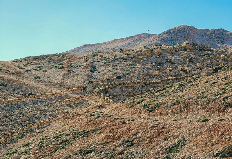 Simple beautiful life lebanon mountains sheep morning life ... (Sannine Heights)