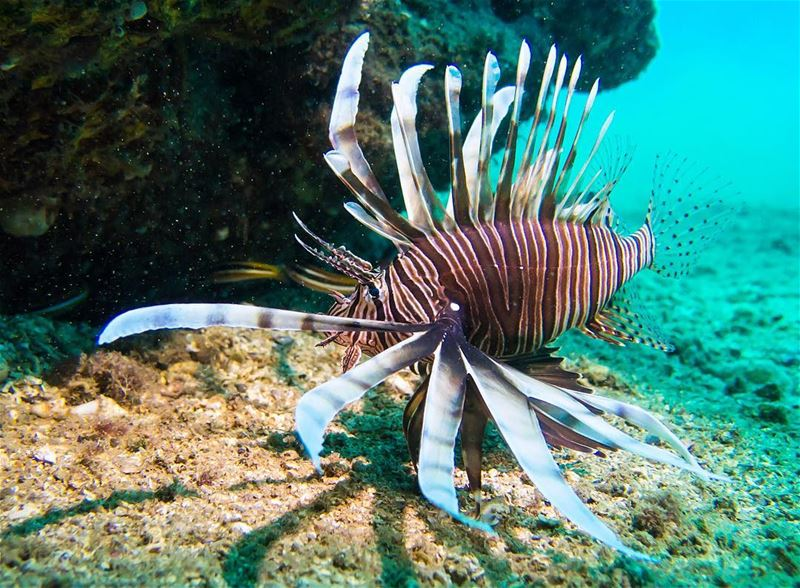 King of the deep ...the lionfish shot in beirut lebanon ...